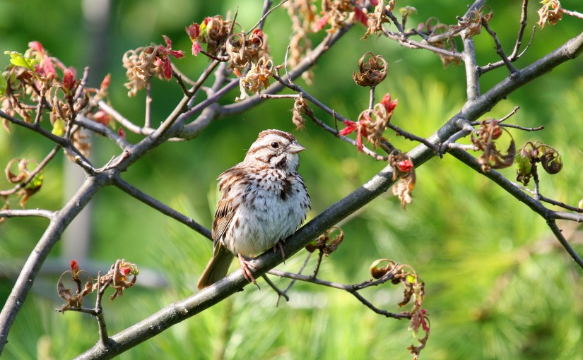 northern-highland-state-forest-sparrow